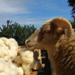 ovcie runo a kolovratok02